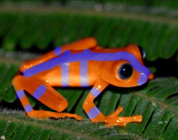 Blue eyed tree frog...